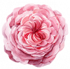 detail-flower.png